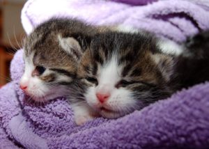 two small kittens wrapped in a purple towel