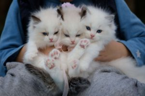 person holding three white kittens