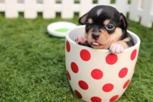 puppy in a red polka dot cup