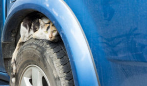 cat sitting on the wheel of a blue car