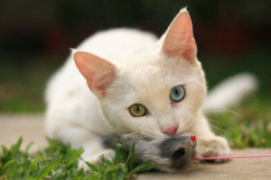 white cat playing with mouse toy