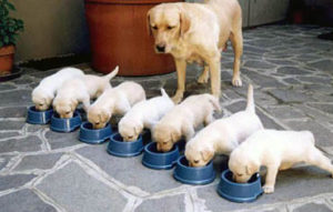 litter of puppies drinking from blue bowls