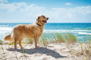 dog standing in sand by the ocean