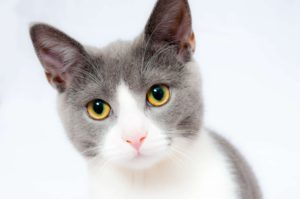 white and gray cat with yellow green eyes