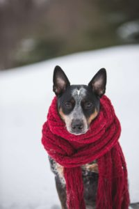 brown and black dog wrapped in a red scarf